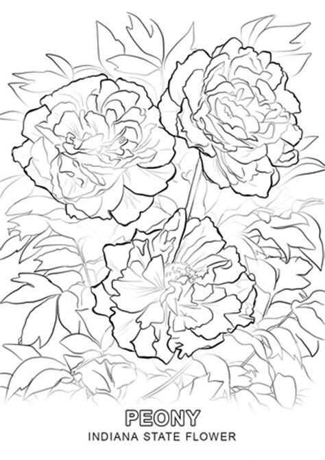 indiana state flower coloring page indiana state flower coloring page free printable