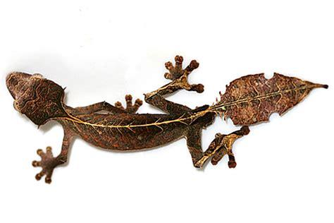 alimentazione geco uroplatus phantasticus