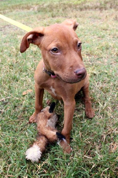 vizsla mix puppies polo the vizsla mix puppy s web page