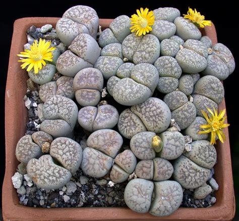 facts about succulents 10 beautiful succulent varieties for your home or garden