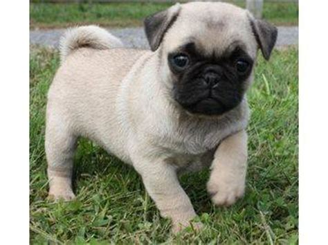 Akc Pug Puppies For Sale 11weeks Usa Free Classifieds Muamat