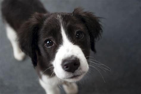 border collie puppies border collie puppies photos breed information