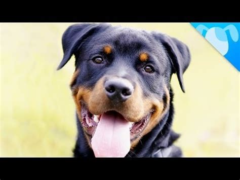 facts about rottweilers smart rottweiler doing math p funnydog tv