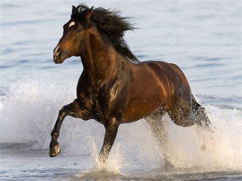 animals black horse beach sea water desktop hd wallpaper