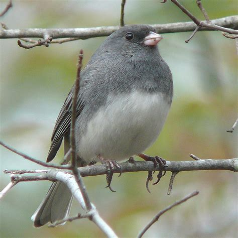 backyard birds ontario dark eyed junco canada s snow bird niagara escarpment