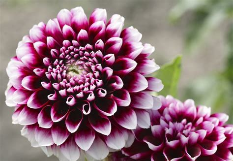 dahlia varieties learn about different types of dahlia flowers