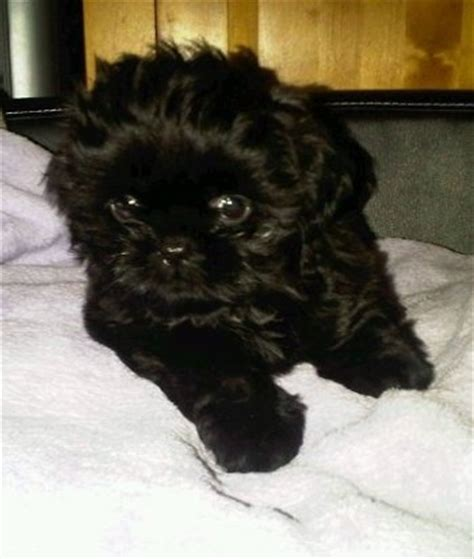 black shih tzu names preloved name suggestions for a all black shih tzu discussion uk