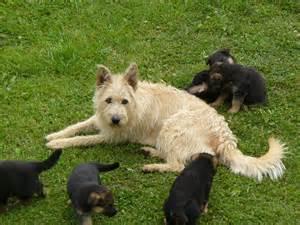 belgian shepherd laekenois breeders belgian shepherd dog puppy viewing gallery