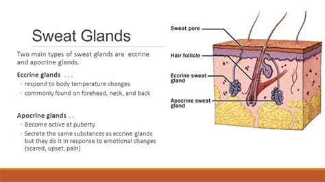 how to excrete glands opening assignment 1 the 4 types of tissues ppt