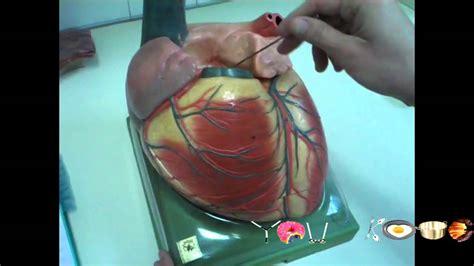 como hacer maquetas de corazon diseccion corazon maqueta 1 youtube