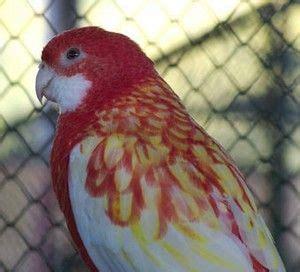 cockatiel colors cockatiel colors