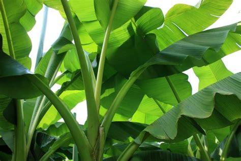 Quand Planter Un Bananier planter un bananier gamm vert