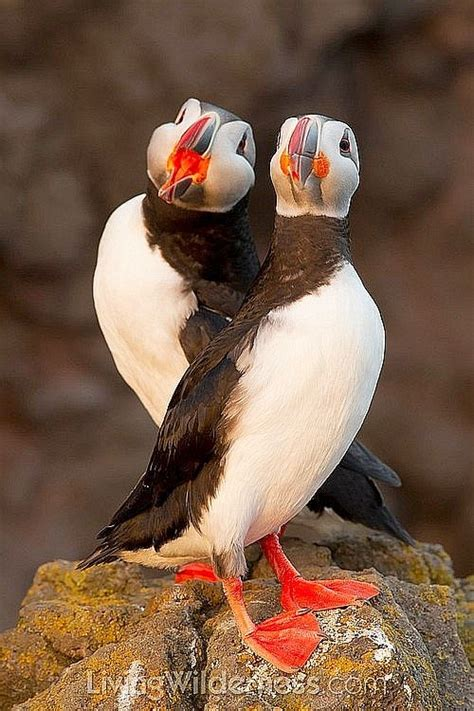 63 best images about birds puffins on pinterest iceland