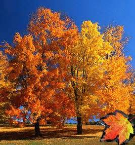 West Virginia State Flower And Tree - sugar maples outside decor pinterest