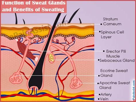 how to excrete glands function of sweat glands and benefits of sweating