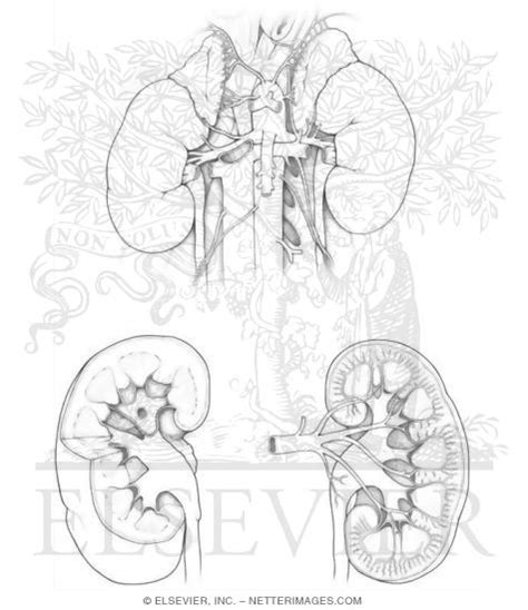 anatomy coloring book netter kidney