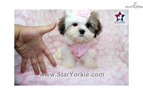 teacup shih tzu puppies for sale in illinois shih tzu puppies for sale teacup shih tzu puppies teacup shih tzu breeds picture