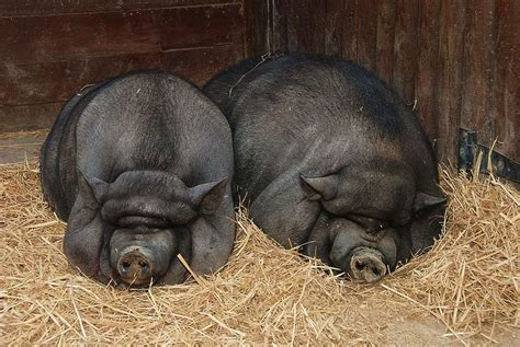 two adult pot bellied pigs