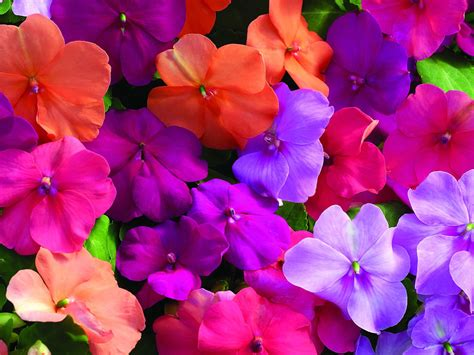 fiori di vetro impatiens flower specs pictures information flowers gallery