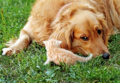 do golden retrievers get along with other dogs 10 breeds that get along with cats canna pet 174