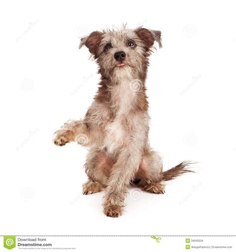 shake a paw puppies scruffy terrier puppy shaking paw stock images image 34045534