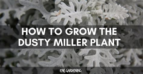 dusty miller plant   grow  beautiful silvery plant