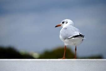 il gabbiano 2 uccelli marini che volano sopra il mare scaricare foto