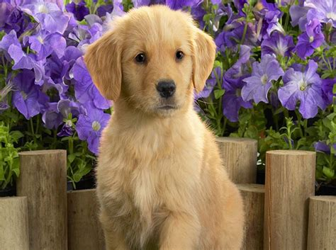 aggressive golden retriever puppy golden retriever breed