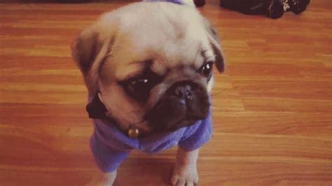 pug gif pug puppy gif find on giphy