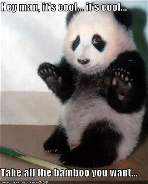funny animal pictures panda bears   dump a day