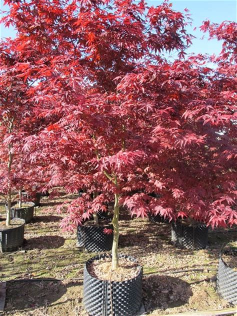 acer palm emperor 1 japanese maple emperor 1 supertrees 174 inc