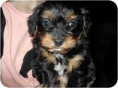 king charles yorkie mix delaney adopted puppy lonedell mo yorkie terrier cavalier king