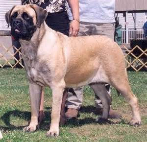 mastiff colors american mastiff breed american mastiff breed