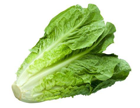 imagenes lechugas verdes comprar lechuga romana vega baja alicante fruta de la sarga