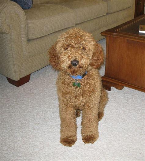 doodle puppy info 522 best poodle crossbreeds images on golden
