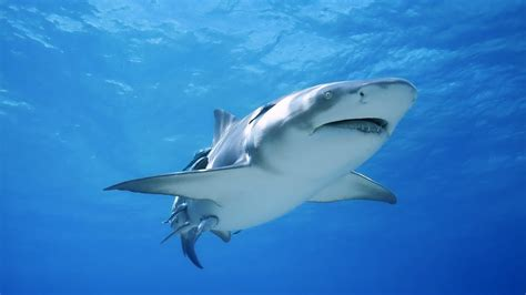 imagenes para fondo de pantalla de tiburones tibur 243 n 1366x768 fondos de pantalla y wallpapers