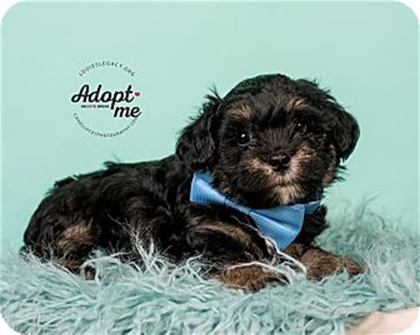 havanese cocker spaniel mix giles adopted puppy cincinnati oh havanese cocker spaniel mix