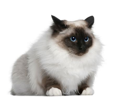 The Birman Cat   Cat Breeds Encyclopedia