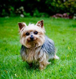 yorkie dental care breeds of small dogs best small breeds terrier breed standard