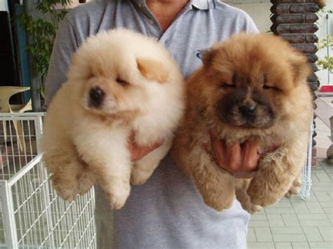 fluffiest dogs the fluffiest dogs you will see