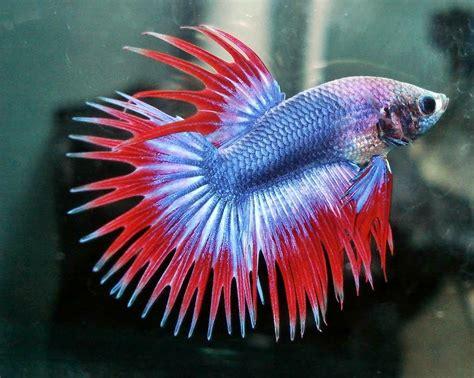 Harga Kutu Air Untuk Pakan Ikan memilih ikan cupang hias kontes akuarium ikan hias