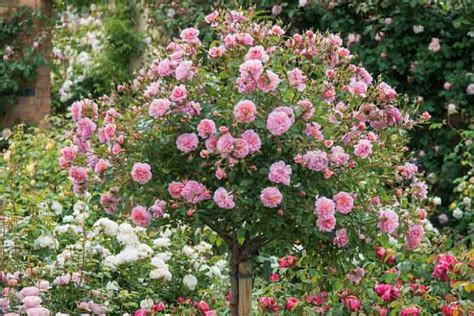 underplanting roses companion plants  roses