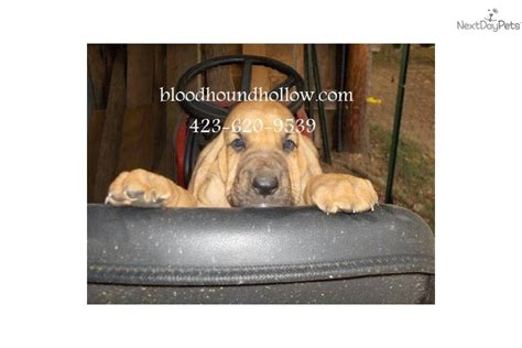 bloodhound puppies near me bloodhound puppy for sale near tri cities tennessee 00311ad2 8421