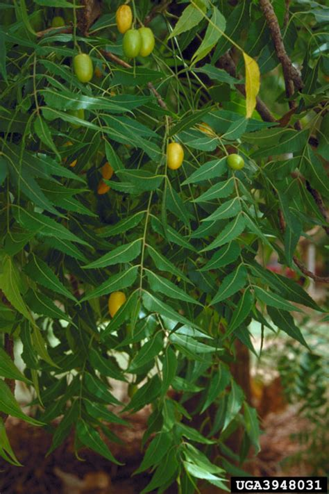 Pestisida Neem curan daun mimba dan umbi gadung sebagai pestisida