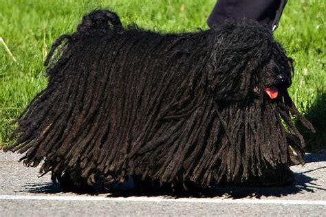 puli puppies the dreadlocked puli dogs of san francisco 171 san francisco citizen