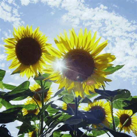 imagenes hermosas girasoles imagen de girasol and gif flores hermosas pinterest