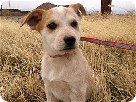 golden retriever heeler mix heeler golden retriever mix