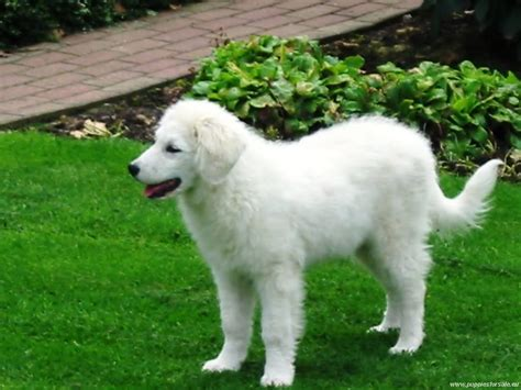 dogs on the kuvasz on the grass photo and wallpaper beautiful kuvasz on the grass pictures