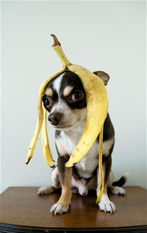 banana for dogs community post 50 hilarious dogs in wigs bananas banana peels and chihuahuas