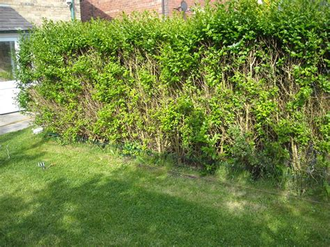 privet hedge 171 andysworld